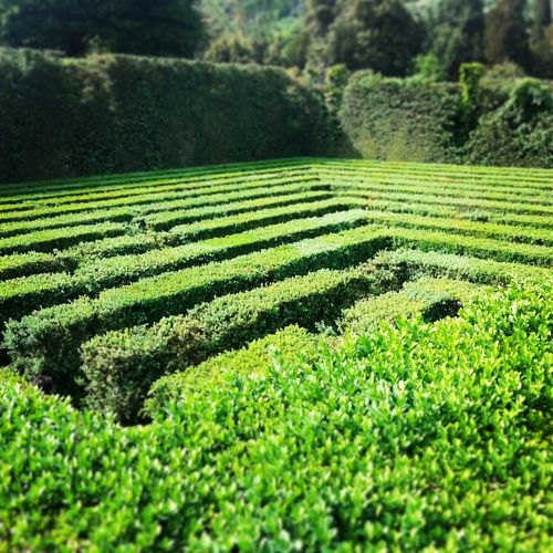 Veneto Italy Green Green Color Fence Fences Villa Labirynth Labirintos Labirinto Landscape Entrance Entryway NoExit Noescape Tea Crop Agriculture Field Rural Scene Tree Landscape Green Color Plant Grass Greenery Grassland Countryside Maze Holiday Villa
