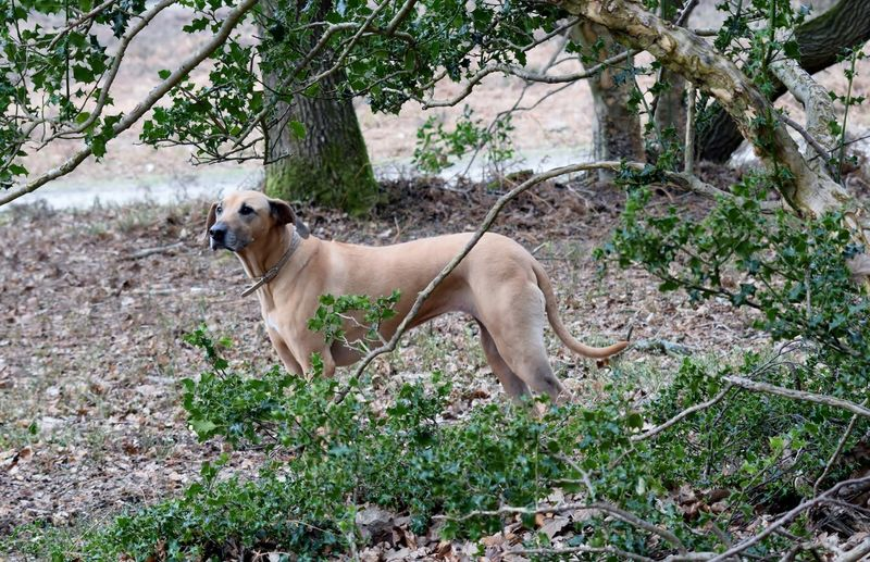 Animal Animal Themes Day Dog Grass Mammal Nature No People One Animal Outdoors Pets Plant Ridgeback Tree