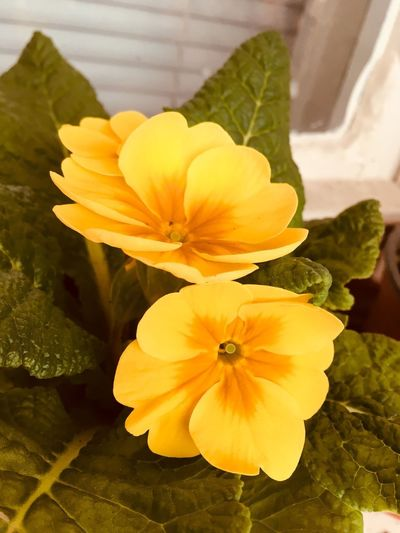 Yellow flowers Flower Petal Flower Head Fragility Yellow Beauty In Nature Freshness Nature Plant No People Close-up Growth Leaf Day Indoors  Blooming
