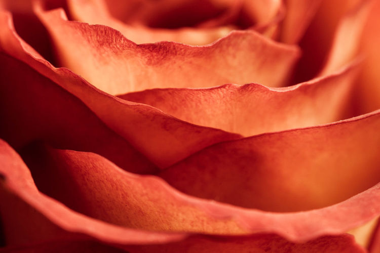 Flower Flowering Plant Petal Freshness Close-up Rosé Full Frame Flower Head Beauty In Nature Inflorescence Rose - Flower Fragility Plant Vulnerability  Backgrounds Extreme Close-up No People Nature Macro Outdoors Softness Red Fire Red