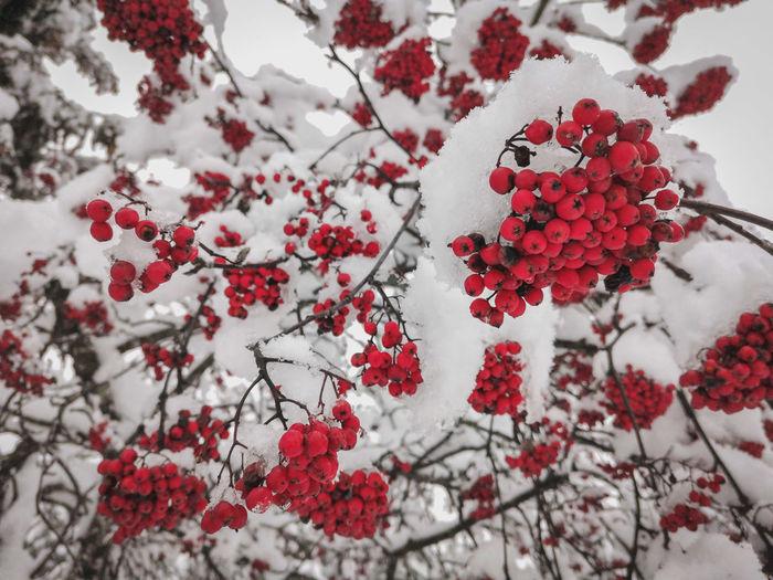 Red berries in winter snow