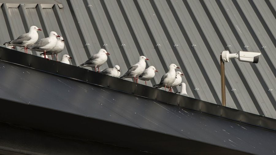 High angle view of pigeons perching on metal