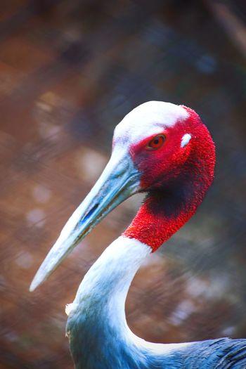 Bird Photography Animal Themes Animals In The Wild Animal Photography Bird Flamingo Ibis Portrait Beak Red Multi Colored Close-up Tropical Bird Animal Eye HEAD Eye Eye Color EyeEmNewHere