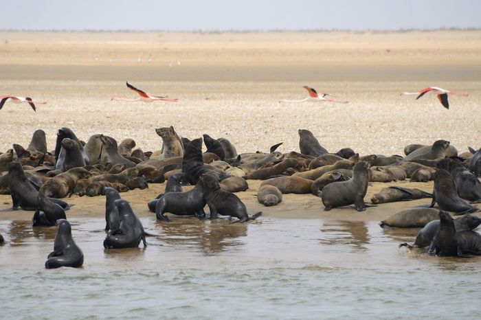 Sealions at the shore in Walvis Bay Namibia Namibia Sea Lion Sea Lions Walvis Bay Wildlife & Nature Wildlife Photography Africa Animal Themes Animal Wildlife Animals In The Wild Bank Day Large Group Of Animals Mammal Nature No People Outdoors Sea Lion Natural Habitat Water