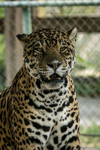 Tiger 3 Animal Animal Head  Animal Markings Animal Themes Animal Wildlife Animals In Captivity Animals In The Wild Big Cat Carnivora Cat Close-up Day Domestic Animals Feline Focus On Foreground Leopard Mammal No People One Animal Outdoors Relaxation Undomesticated Cat Vertebrate Whisker Zoo