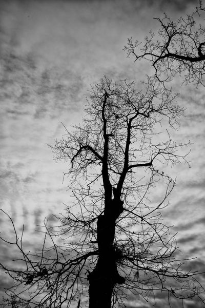 Oak Tree Dead Tree Black & White Black And White