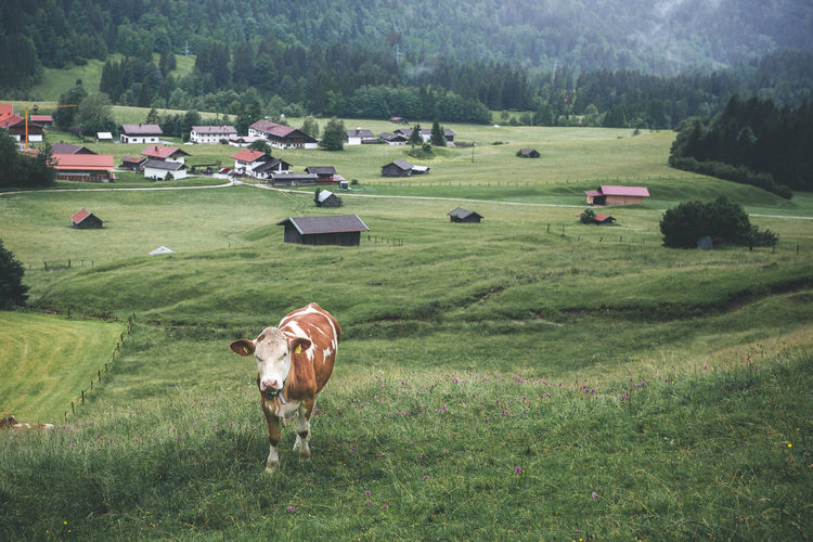 Big and Brown Cow Walking On Green Open Fields in Gerold, Bavarian Alps Agriculture Animal Animal Themes Cattle Cow Day Domestic Domestic Animals Environment Field Grass Green Fields Group Of Animals Herbivorous Land Landscape Livestock Mammal Nature No People Outdoors Pets Plant Tree Walking