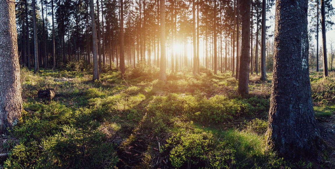 Sunset light at the Deep Forest Beauty In Nature Day Deep Woods Forest Landscape Light Light And Shadow Mood Nature No People Outdoors Panorama Sky Summer Summer Views Summertime Sunset Tranquil Scene Tree Tree Area Tree Trunk Wilderness Area WoodLand