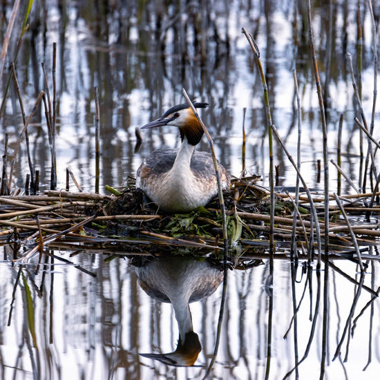Great crested grebe nesting