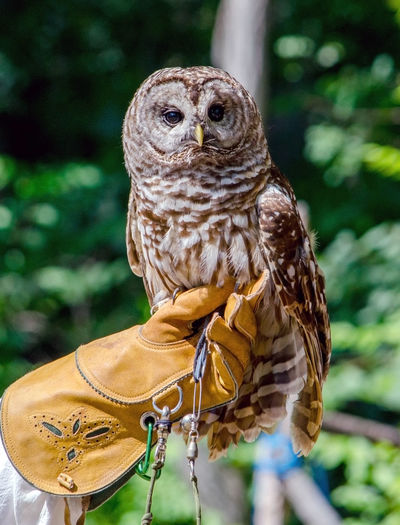 Barred owl sitting on a leather glove of his bird handler Event Body Part Händler Barred Owl Safe Glove Hand Vertical Wings Secured Small Calm Serene Isolated Safety Bird Show Tied Plumage Animal Themes Endangered  Perching Bird Of Prey Wise Front View Nocturnal Wildlife Looking Wild Carnivore Beautiful Watching Feather  Alba Beak Raptor Owl Outdoors Perched Daylight Hunter Portrait Predator White Animal Bird Avian Prey Nature Animal Wildlife Looking At Camera