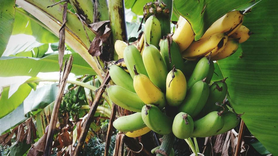 Banana Banana Tree Fruit Fruit Photography Freshness Healthy Healthy Fruit Green Color Yellow Color Photography Day Close-up No People Nature