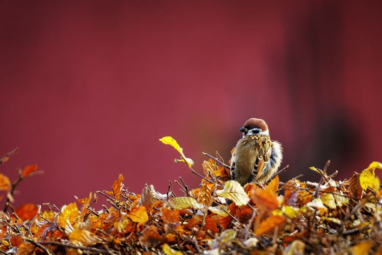 sparrow Red