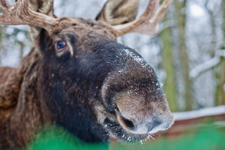 Close-up portrait moose in forest during winter
