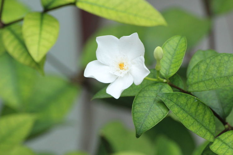 Jasmine. Plant Flower Flowering Plant Leaf Plant Part Freshness Beauty In Nature Close-up Vulnerability  Growth Fragility White Color Petal Inflorescence Flower Head Nature Focus On Foreground Green Color No People Day Outdoors Springtime Spring Jasmine Flower Jasmine