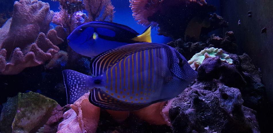 Saltwater Aquarium Zebrasoma Desjardini Paracanthurus Hepatus UnderSea Sea Life Water Underwater Aquarium Sea Sea Anemone Blue Fish Fish Tank Reef Soft Coral