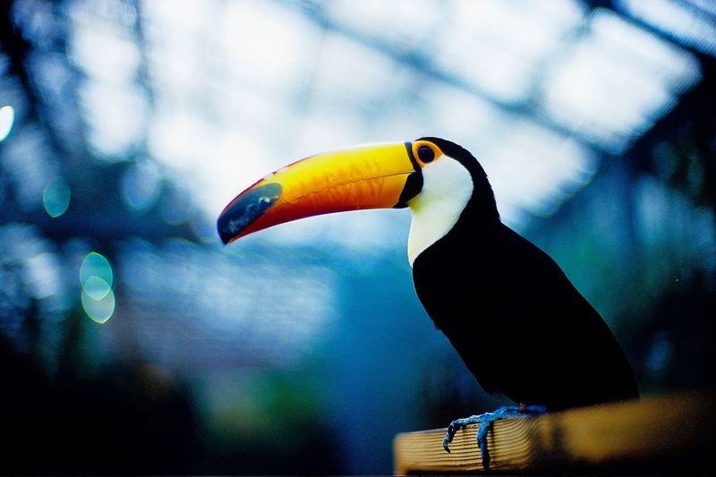 Bird Toucan Toco Toucan Greenhouse FAR AWAY FROM HOME Lost In Thought... Bokeh Dof Depth Of Field Kachoen Kobe Kachoen Leicacamera LeicaM7 Noctilux 50mm Fuji Velvia 50