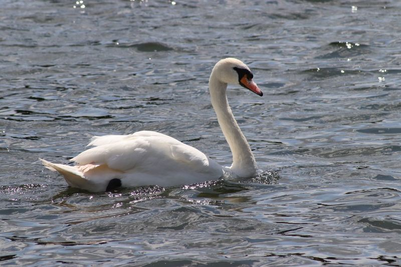 Swan on the