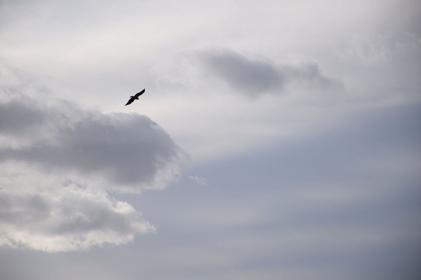 Flying bird over cloudy sky Animal Animal Themes Animal Wildlife Animals In The Wild Beauty In Nature Bird Cloud - Sky Day Flying Low Angle View Mid-air Nature No People One Animal Outdoors Scenics - Nature Silhouette Sky Spread Wings Vertebrate