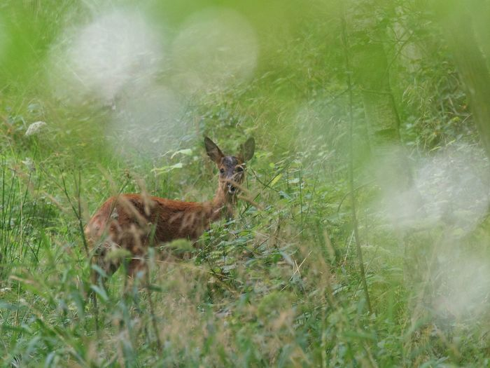 Roe Deer Animal Themes Mammal Animal Plant Land Animal Themes Mammal Animal Plant Land