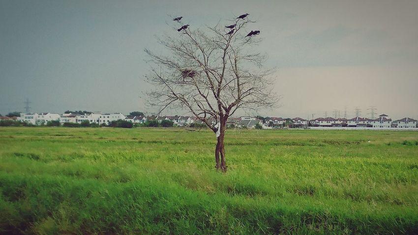 Landscape Outdoors Bird Sony Xperia Z5 At Alor Setar Malaysia Rice Paddy