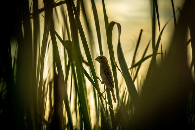 """""""Golden weaver, golden sunset"""" - Asian golden weaver perched on a reed in the sunset. Ploceus Hypoxanthus Asian Golden Weaver Asian Golden Weaver Bird Birding Birding Thailand Birds Of EyeEm  Bird Watching Ploceidae Weaver Bird Animals In The Wild Vertebrate Animal Themes Animal Wildlife Perching Selective Focus Beauty In Nature Nature Simple Quiet Love Atmospheric Mood Sunset_captures Reed - Grass Family EyeEm Nature Lover Sunset Silhouettes Birds EyeEmNewHere Capture Tomorrow"""