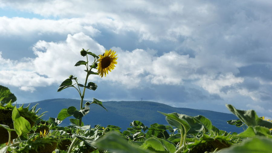 No Filter No Edit Sunflower Sunflower Field Sky And Clouds Single Flower Single Object Rise Above Green Leaves Naturelover Plants And Flowers