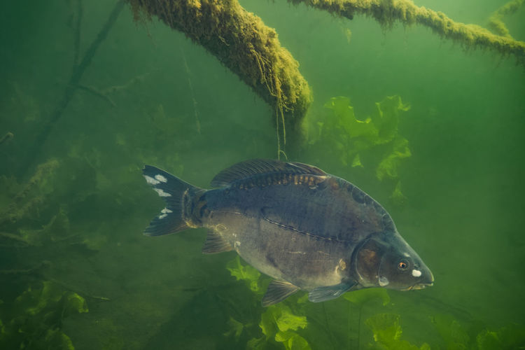 Underwater photo of the common carp or european carp, cyprinus carpio in soderica lake, croatia