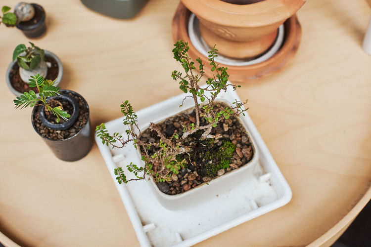 Bonsai Tree High Angle View Food And Drink Herb Food Table Plant Freshness Indoors  Still Life Close-up Growth No People Leaf Potted Plant Nature Plant Part Green Color Selective Focus Flower Pot Gardening