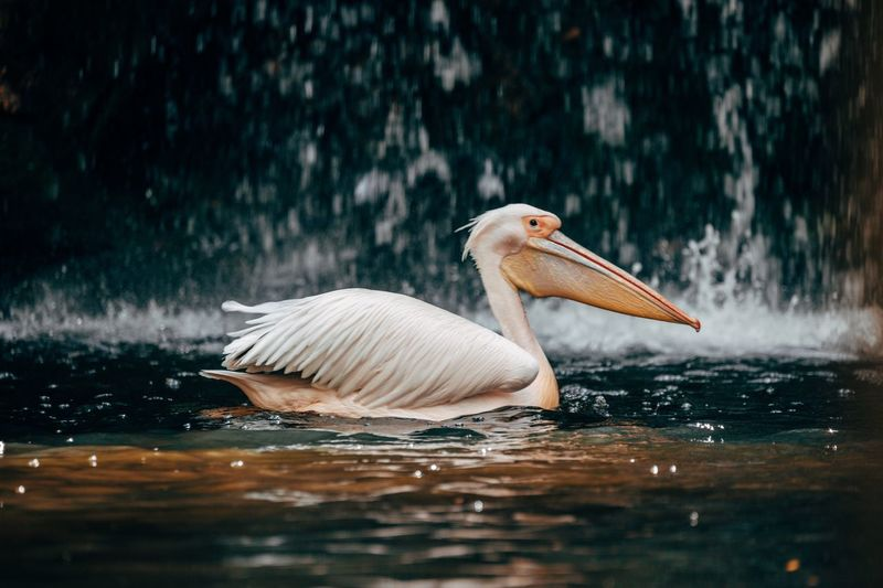 Pelican swimming in lake