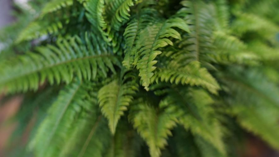 Fern Green Blur Ferm Green Color Plant Growth Leaf Plant Part Beauty In Nature Close-up Focus On Foreground Selective Focus Natural Pattern No People Nature