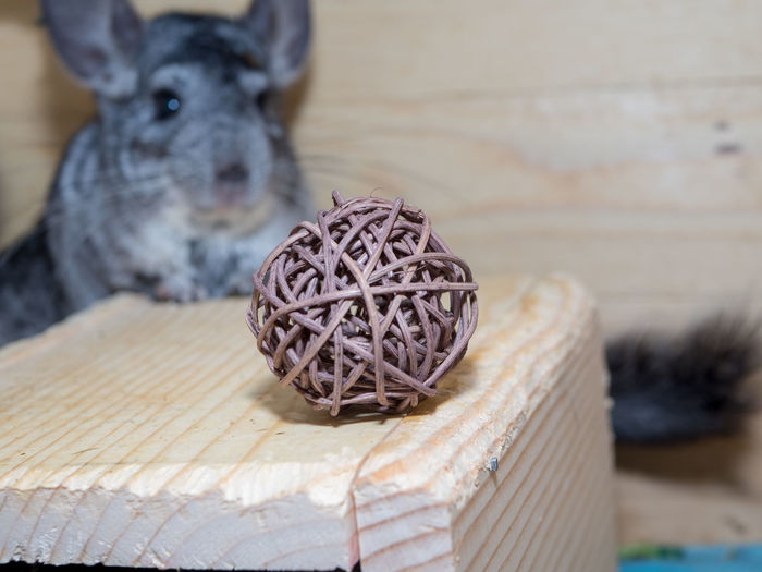 Animal Animal Themes Pets Wicker Ball Twig Ball Chinchilla