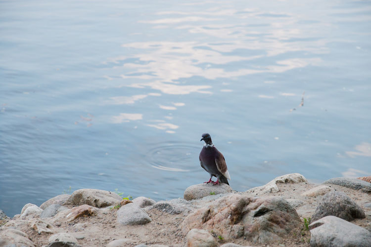 pigeon on the river embankment Animals In The Wild Animal Themes Animal Vertebrate Animal Wildlife Water Bird Solid Rock One Animal Rock - Object Perching Nature Day Lake No People Beach Focus On Foreground Outdoors Marine