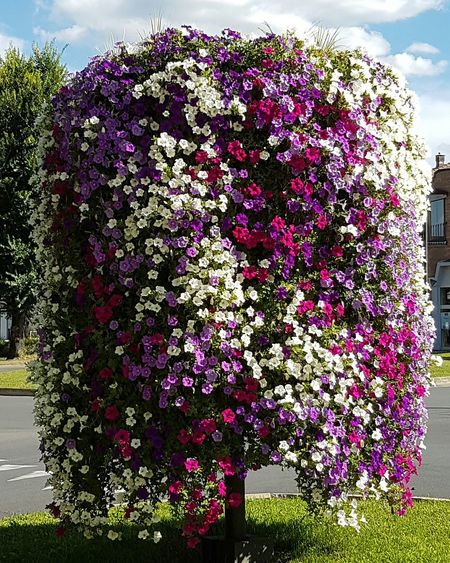 Nature Growth No People Beauty In Nature Plant Flower Outdoors Day Sky Freshness Fragility Close-up Blooming Blooming Flowers Urban Green Alba Petunias In Full Bloom Multi Colored Summer Flowers