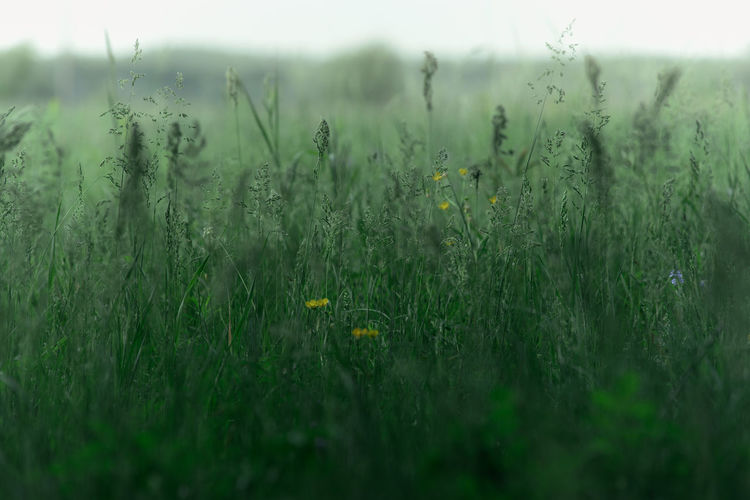wild grass on June meadows, Middle of Russia Cool Green Field Green Green Color Russia Russian Nature Soft Light Bokeh Color Meadow Mist Summer Vibrant Wild Grass