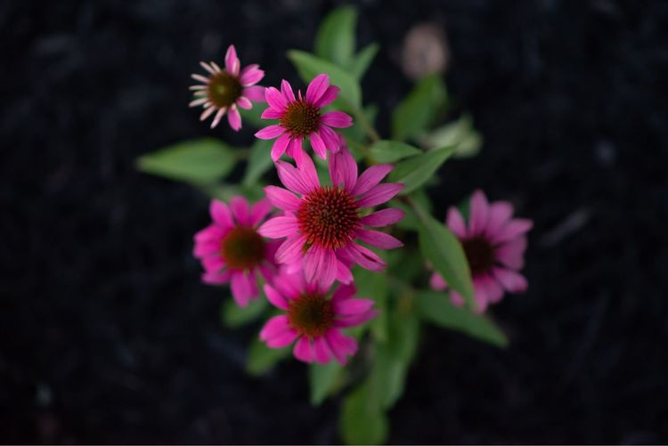 Flowering Plant Flower Freshness Vulnerability  Fragility Plant Petal Beauty In Nature Flower Head Growth Purple No People Focus On Foreground Close-up Pollen Nature Day Pink Color Outdoors EyeEmNewHere