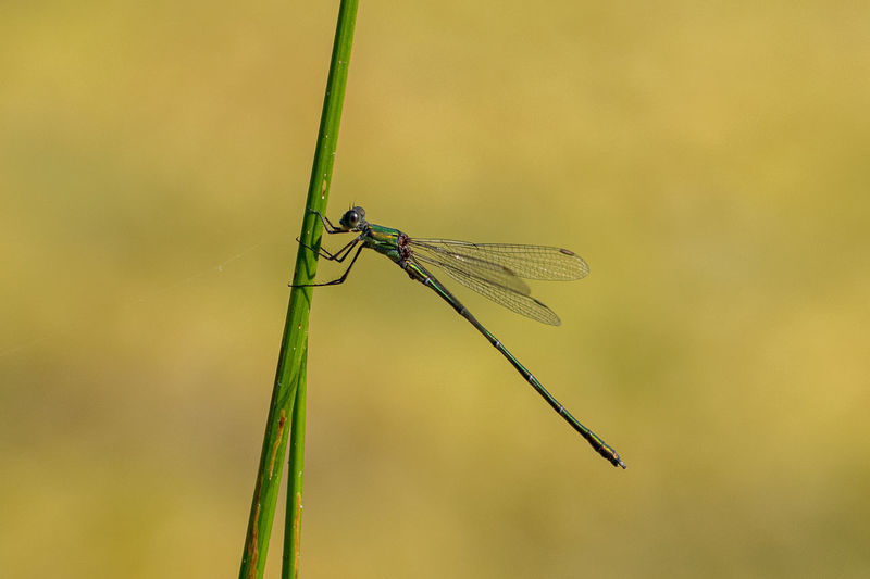 Emerald damselfly, lestes sponsa, holding onto a green leaf stem