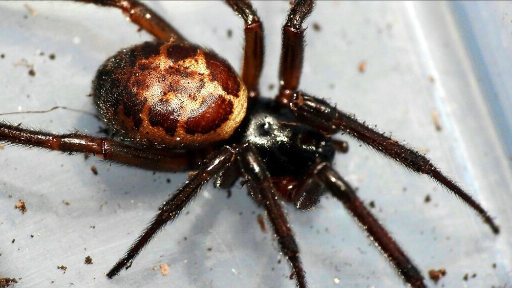 Steatoda Nobilis Spider False Widow One Animal Animal Themes Animals In The Wild Insect Wildlife Close-up Focus On Foreground Animal Antenna Arthropod Zoology Day Nature No People Crawling