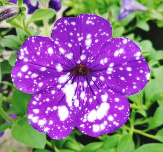 Purple and White speckled Petunia! Beauty In Nature Purple Flower Head Freshness Focus On Foreground Close-up Petunia Outdoors Fragility Nature Flower Blooming Purple & White EyeEm Gallery EyeEm Best Shots Cell Phone Photography