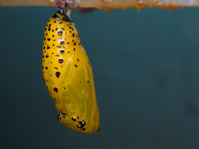 Animal Wildlife Yellow One Animal Insect Animals In The Wild Animal Themes No People Butterfly - Insect Close-up Outdoors Day Nature Pupa Butterfly Insect Photography Macro