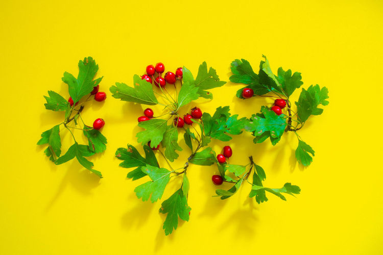 Close-up of berries on plant against yellow background
