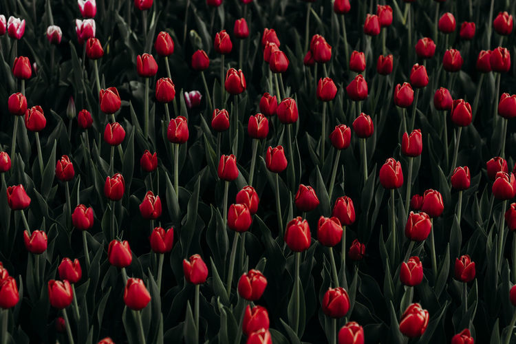 red tulips Backgrounds Red Full Frame Plant Beauty In Nature Tulip Flower No People Growth Flowering Plant Land Vulnerability  Freshness Fragility Field Close-up Nature Abundance Flower Head Day