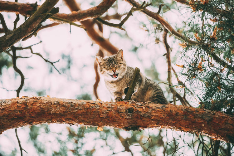 Screaming Meowing Adult Cat On A Pine Tree Branch At Spring Season. Animal Branch Breed Cat Cute Feline Forest Funny Green Kitten Kitty Park Pedigree Pet Pine Playing Pose Pretty Sit Spring Summer Tabby Tree Wood Young Meowing Screaming