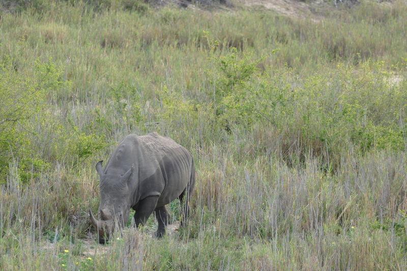 Southafrica South Africa Animals Animal Nature Travel Traveling GameDrive Rhino Savannah Safari Wildlife Kruger Park Klaserie