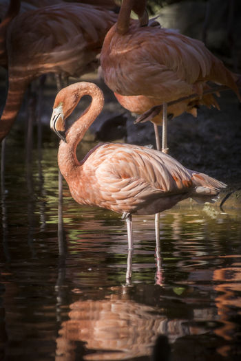 Animal Bird Animal Themes Animal Wildlife Animals In The Wild Vertebrate Lake Water Flamingo Group Of Animals Reflection No People Day Nature Waterfront Beauty In Nature Animal Neck Outdoors Side View Flock Of Birds Freshwater Bird