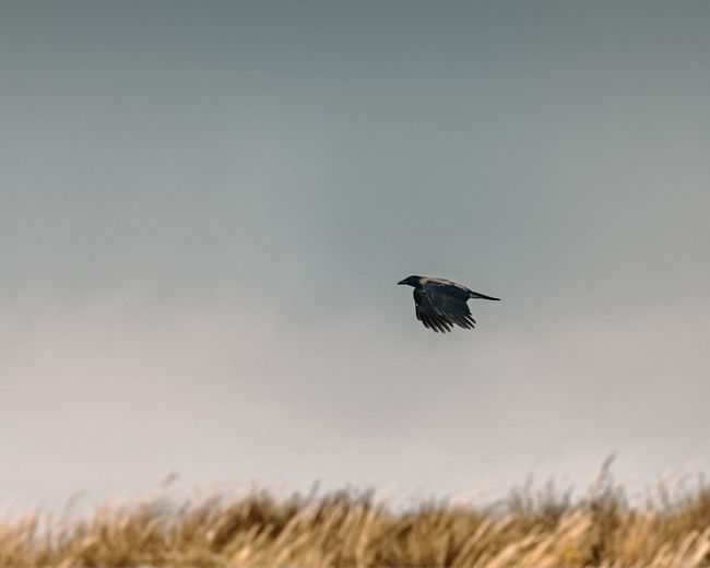 Crow Flying Over Field