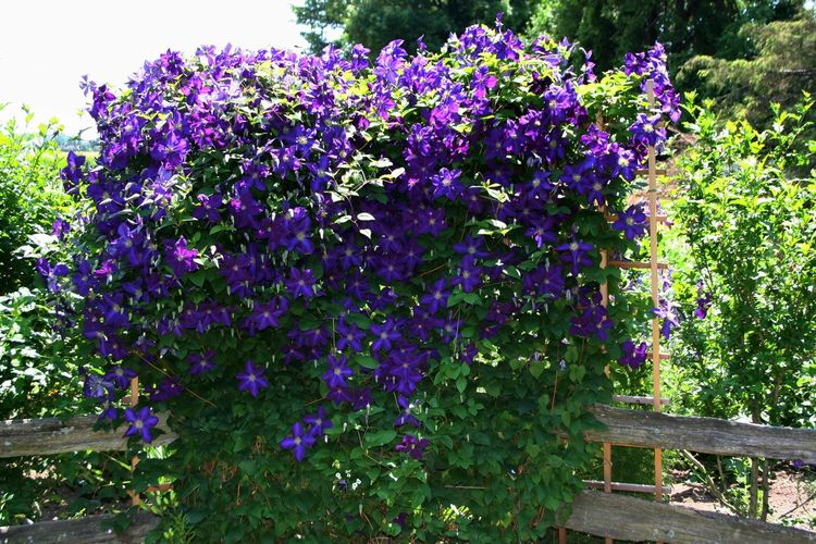 Purple People Eater ~ Abundance Of Flowers Beauty In Nature Blooming Day Flower Fragility Freshness Full Bloom Growth Lilac Morning Morning Glory Nature No People Outdoors Plant Purple Royal Purple Shrub Shrubs
