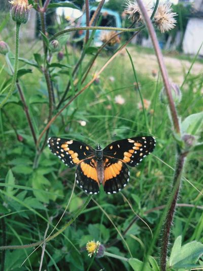 Butterfly - Insect Insect One Animal Monarch Butterfly On Flower. Monarch Butterfly Animal Themes Close-up Plant Nature Outdoors Day Flower Butterfly Beauty In Nature No People Fragility Animal Markings Perching Pollination Freshness
