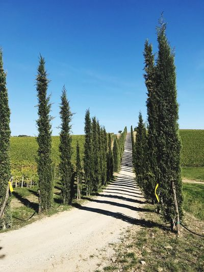 Tuscany Vineyard Tree The Way Forward Day Clear Sky Growth Sunlight Tranquility Outdoors Tranquil Scene Nature Scenics No People Road Landscape Sky Beauty In Nature