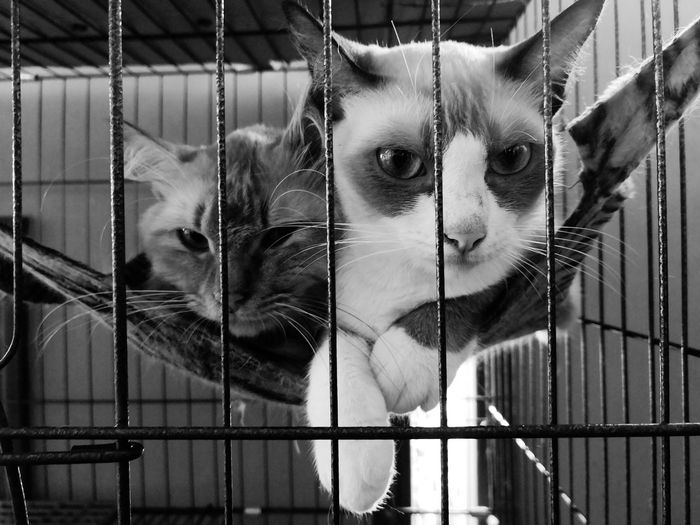 Apa tengok-tengok?? EyeEm Selects Pets Trapped Security Bar Cage Looking At Camera Metal Feline Animals In Captivity Close-up Confined Space Prisoner Arrest Punishment Whisker Prison Domestic Cat Cat Prison Bars Prison Cell Fence Barbed Wire Police Station Hostage Justice - Concept Scolding Handcuffs  Carnivora Razor Wire