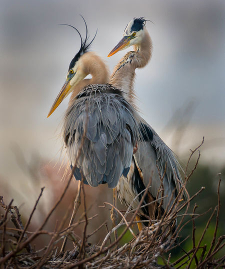 Two Great Blue Herons sit atop a nest in the Florida Everglades. Love Mates Nesting Animal Wildlife Animals In The Wild Florida Great Blue Heron Nest Nesting Birds Pair Watching